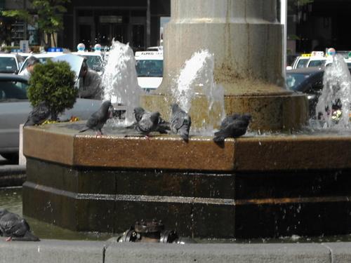 水を浴びる鳩